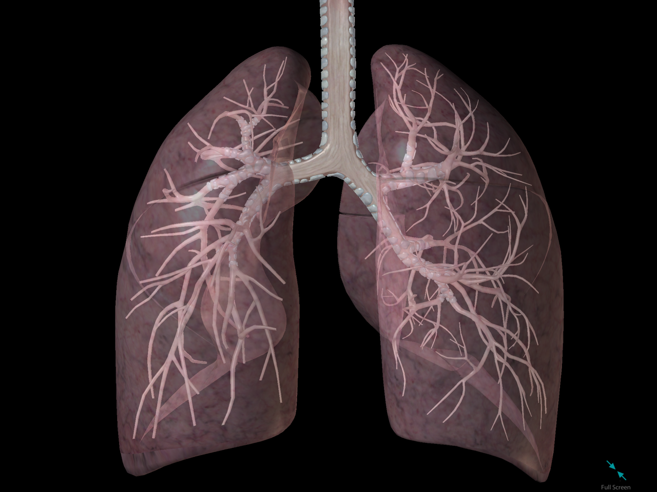 lungs-inside-bronchi-bronchioles-respiratory.png