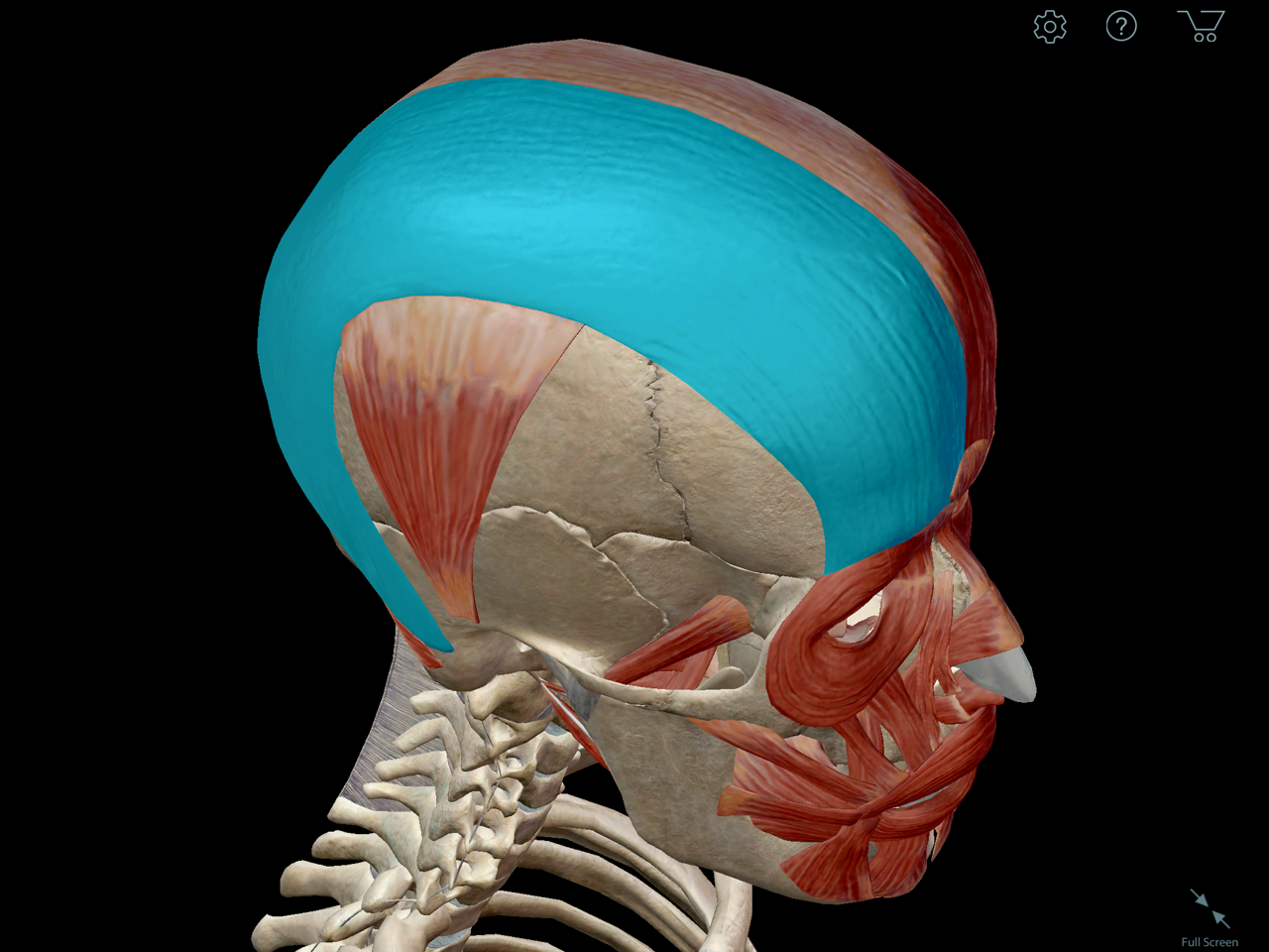occipitofrontalis-muscle-facial-expression.png