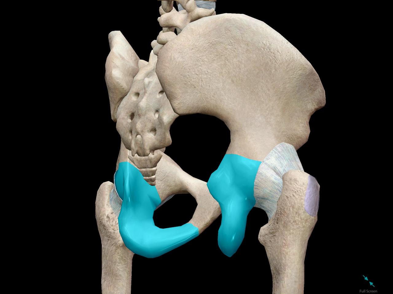 pelvic-girdle-ischium.png