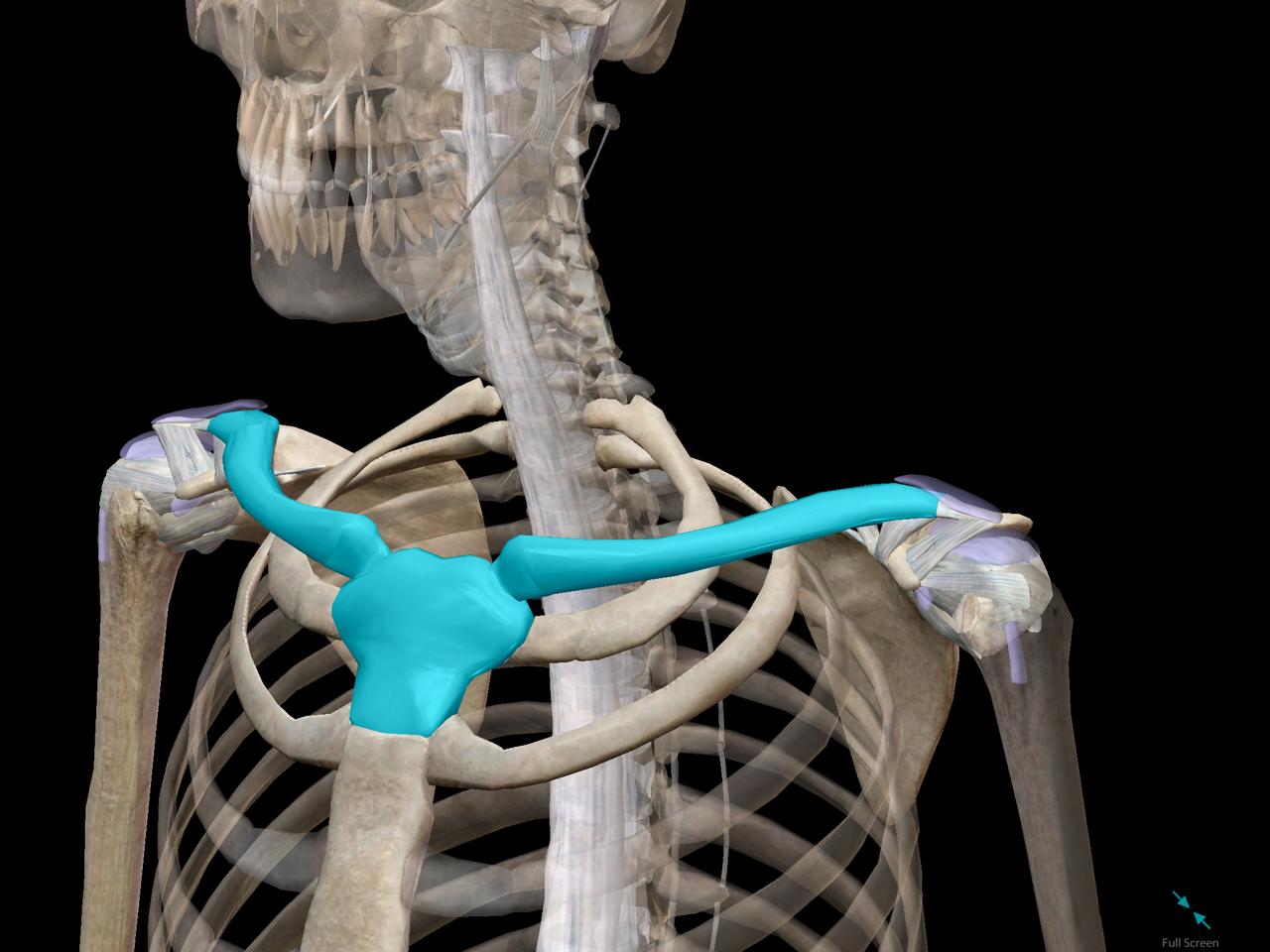 shoulder-girdle-clavicle-sternum-rib.png