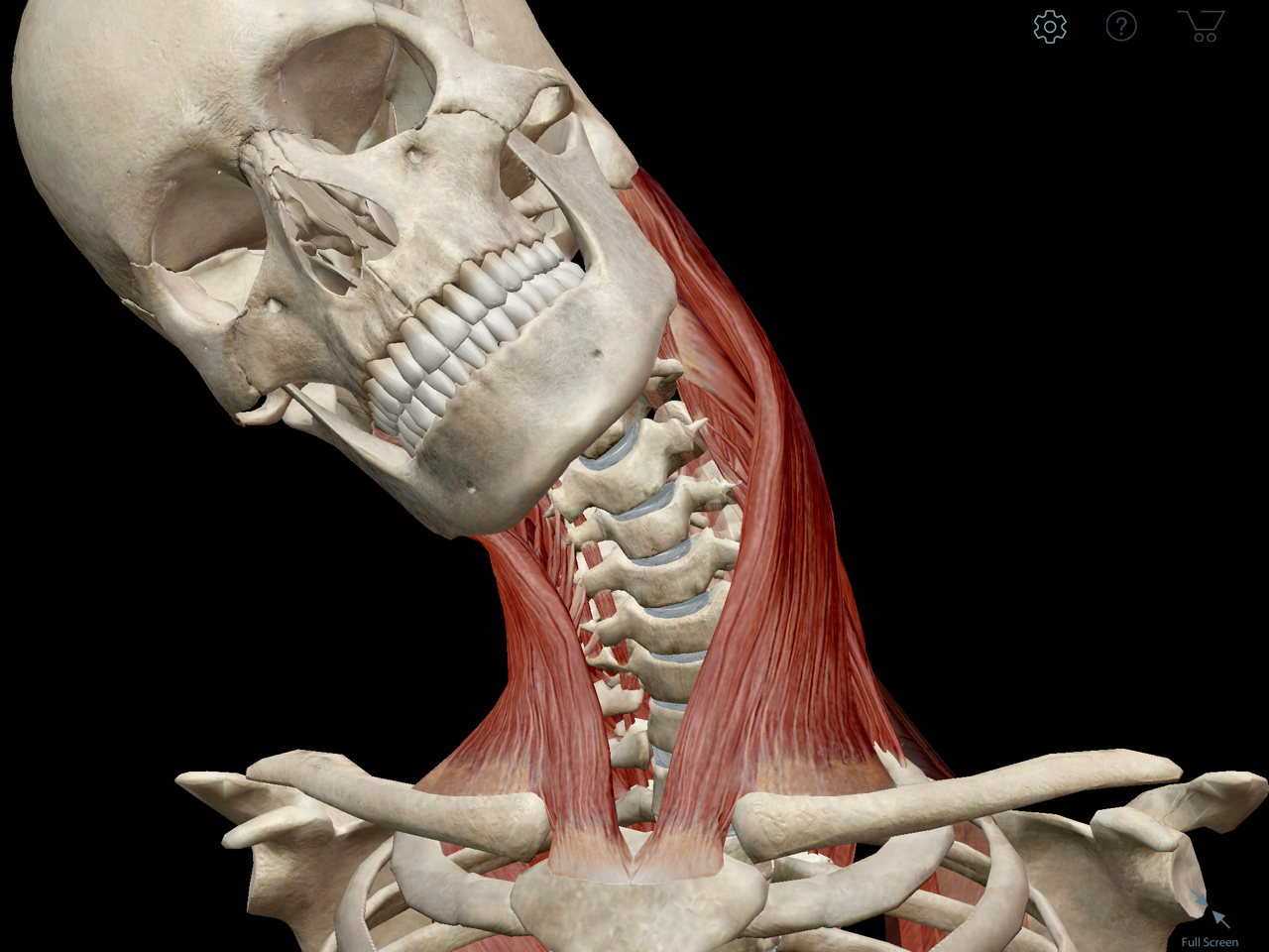 sternocleidomastoid-muscle-movement.png