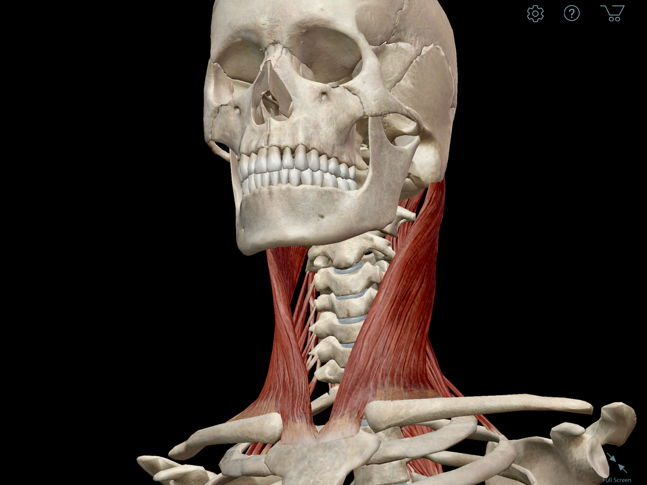 sternocleidomastoid-muscle-neck.png