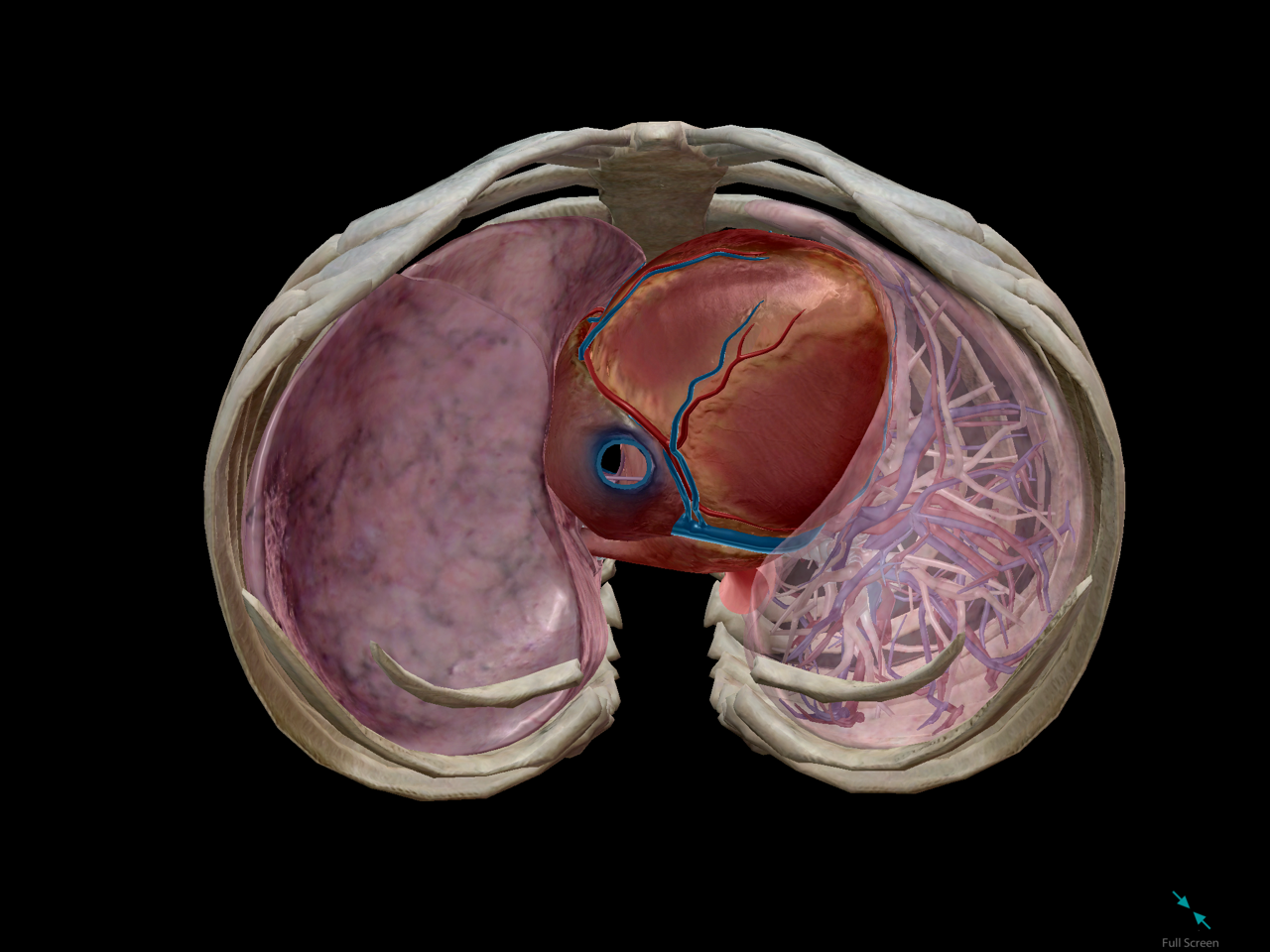 thoracic-cage-cavity-heart-lungs-fit.png