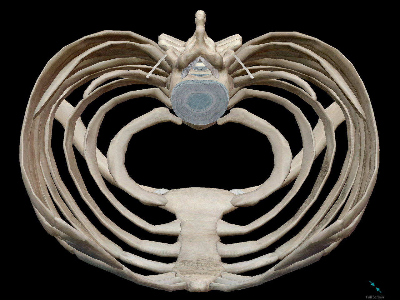 thoracic-cage-inside-space-cavity.png