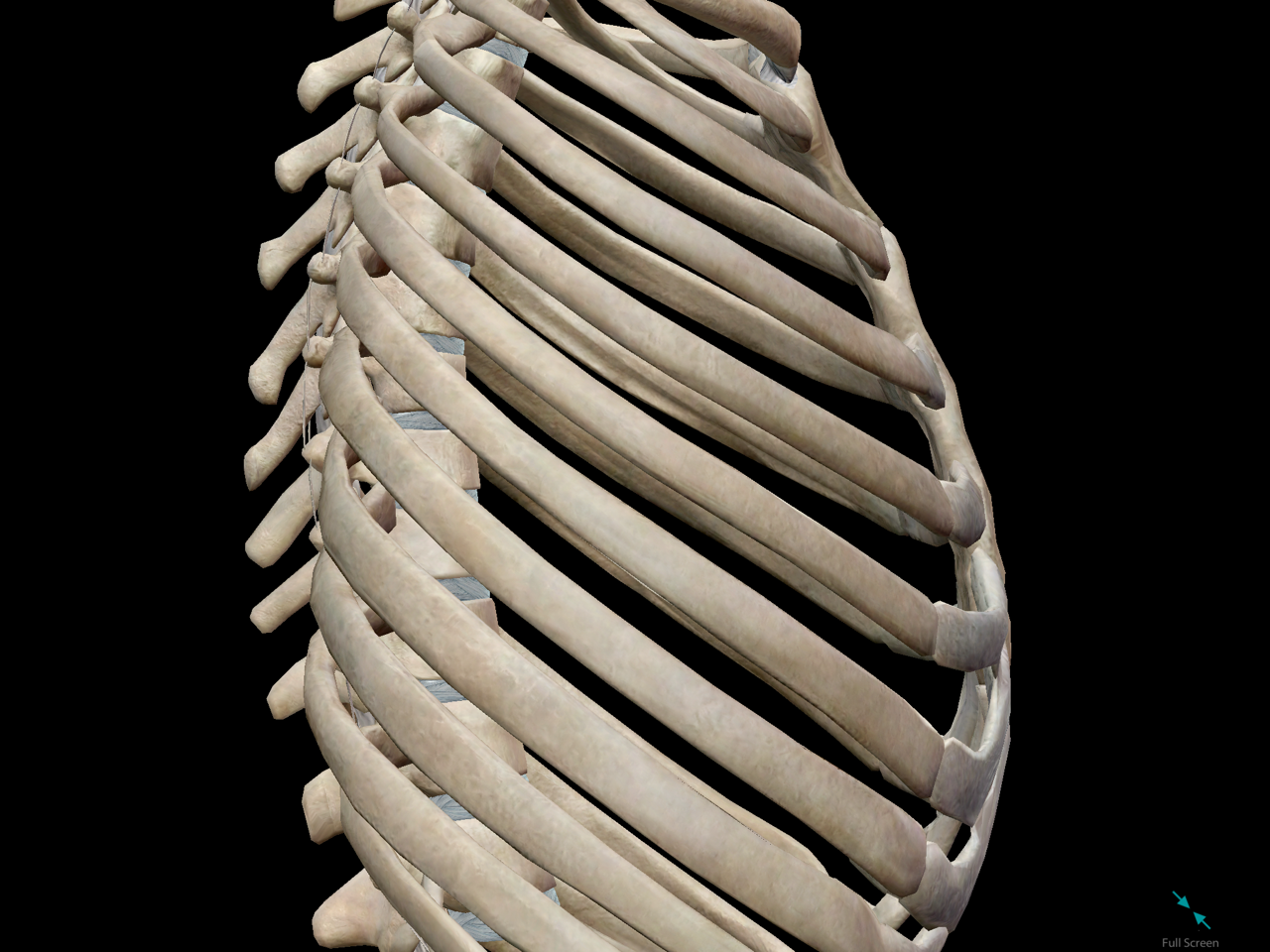 thoracic-cage-lateral-ribs-bone.png