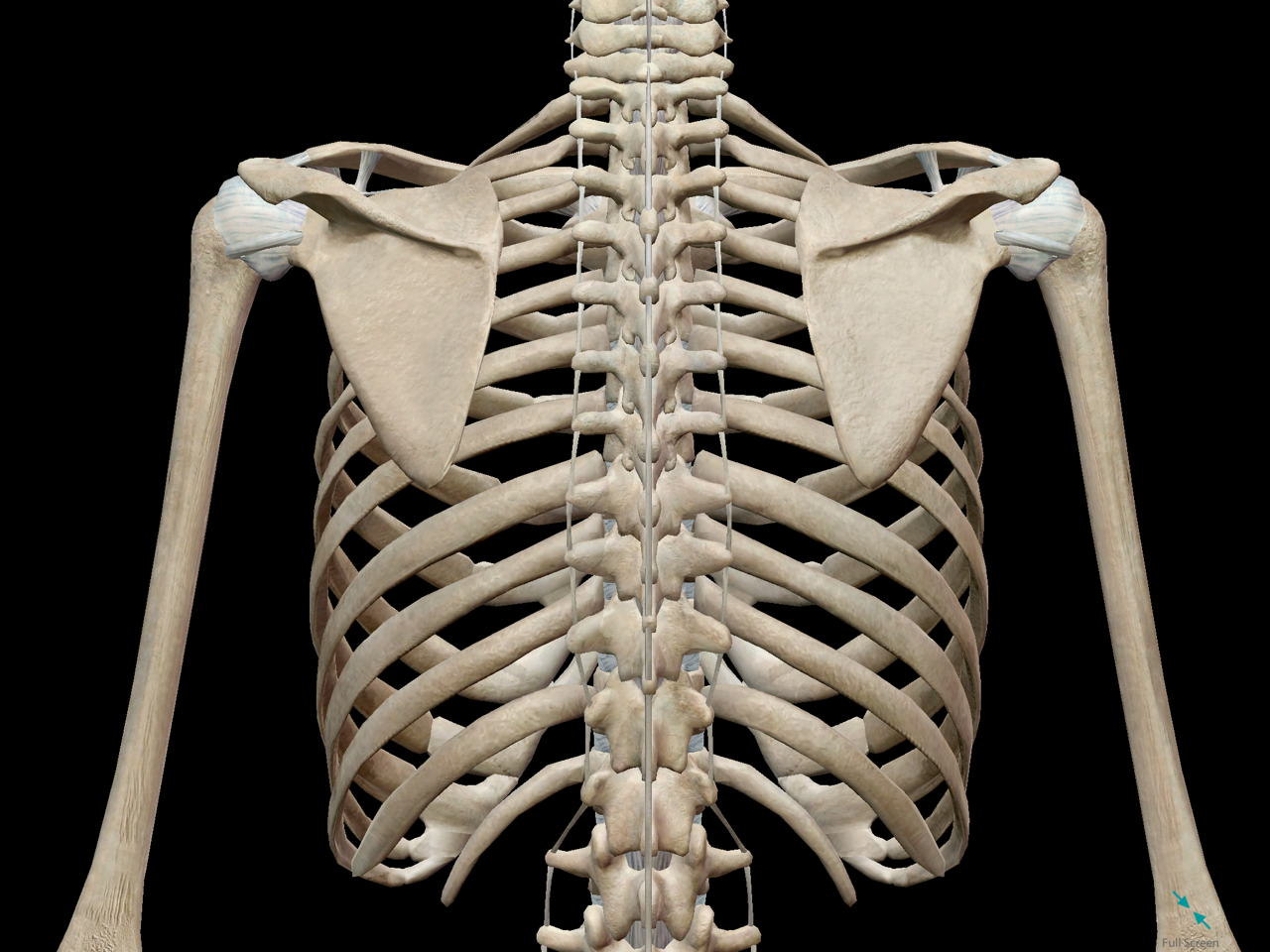 thoracic-cage-posterior-vertebrae-spine-ribs.png