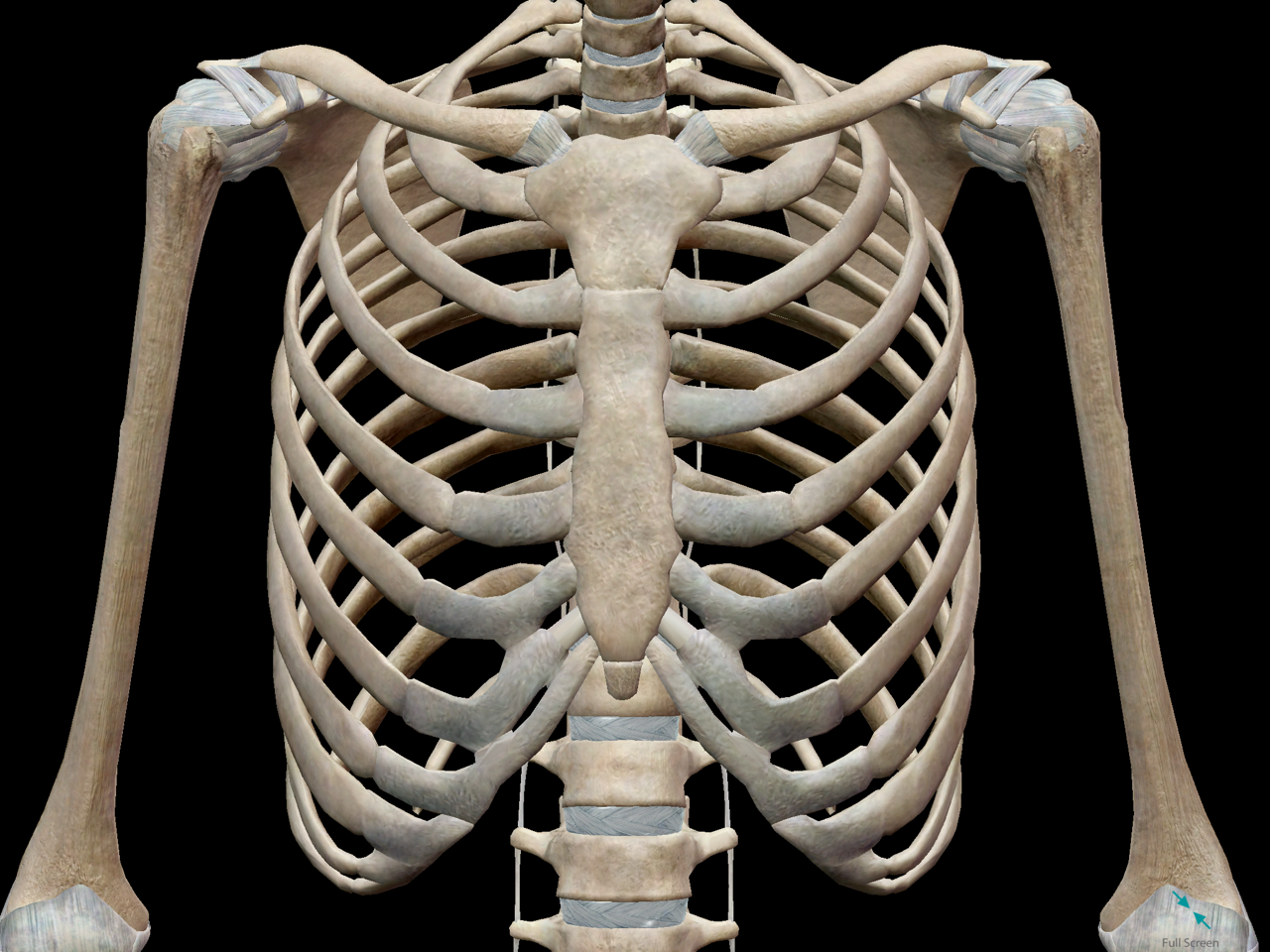 thoracic-cage-ribs-chest-bone.png