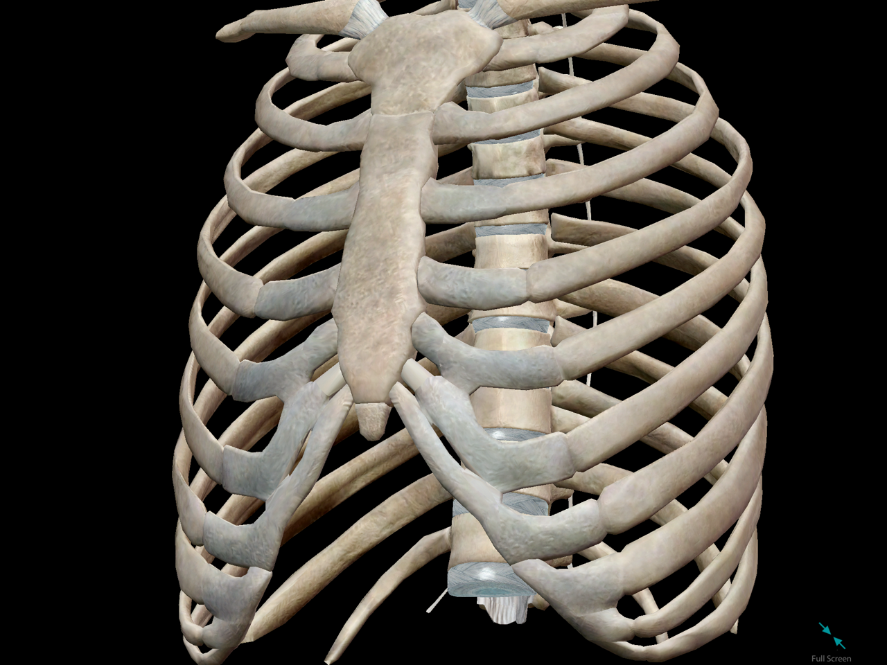 thoracic-cage-space-cavity.png