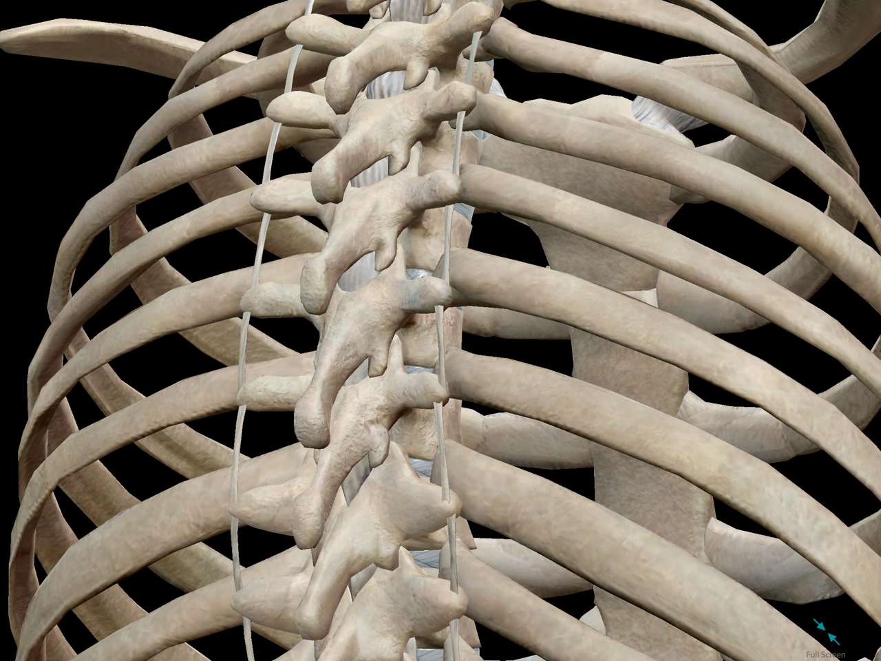 thoracic-cage-vertebrae-spine-ribs-posterior.png