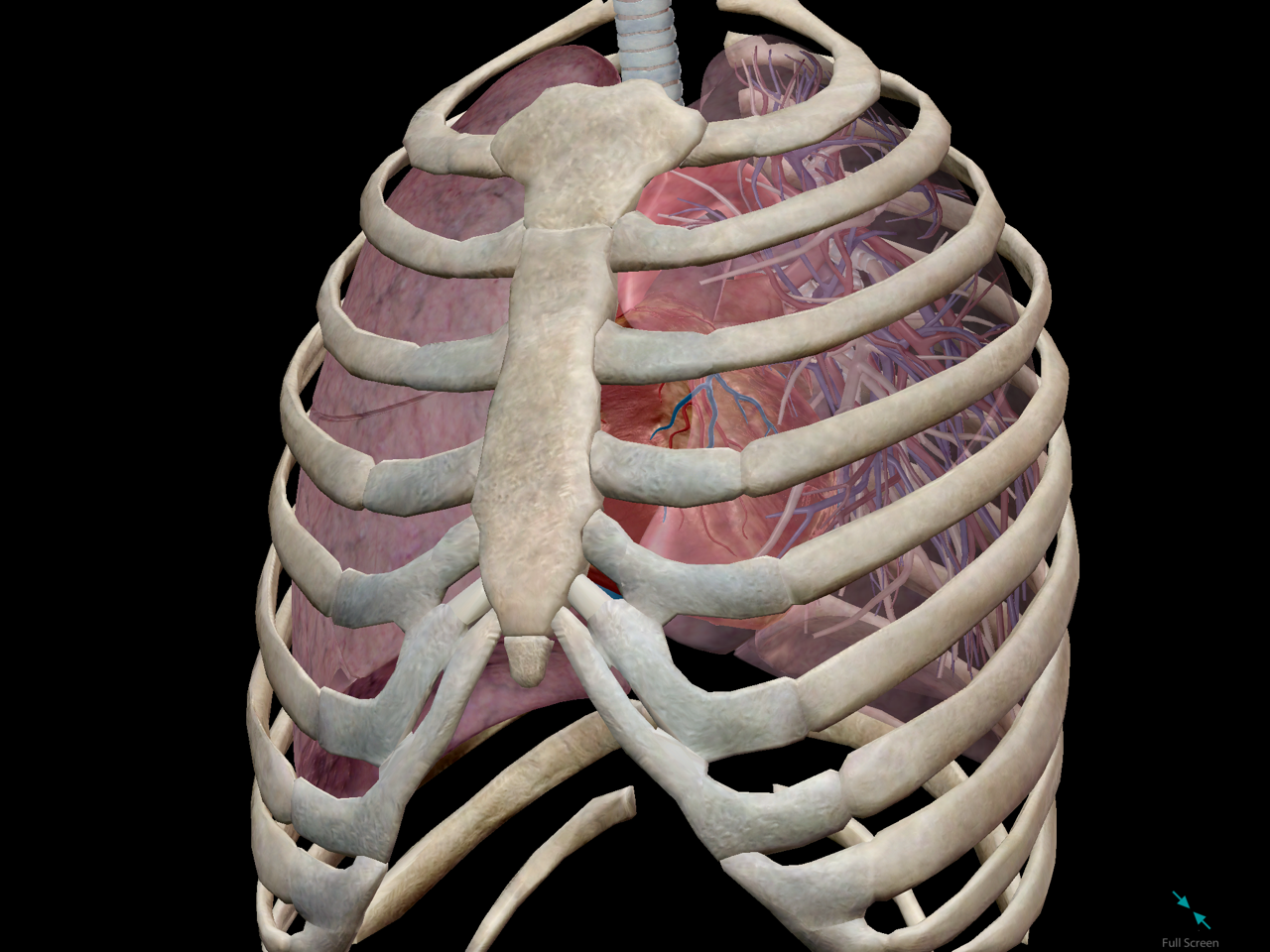 thoracic-cavity-lungs-fit-inside.png