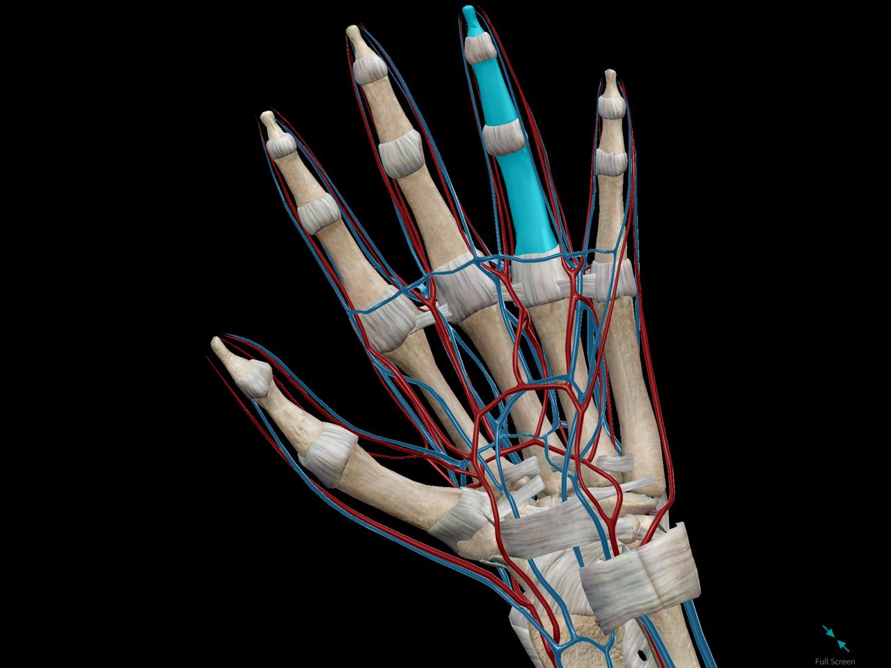 Vena amoris anatomy