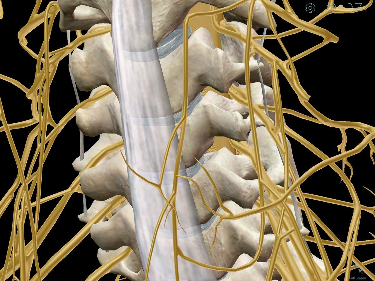 Cervical vertebrae and peripheral nerves