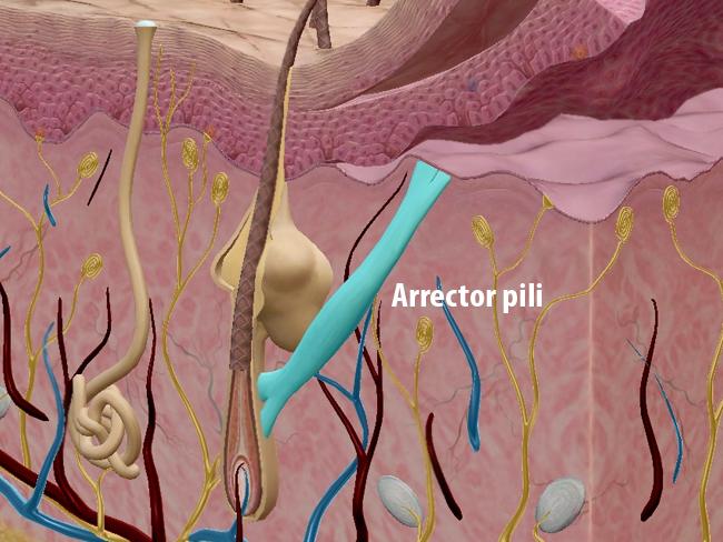 Integumentary arrector pili dermis hypodermis skin keratinocytes melanocytes