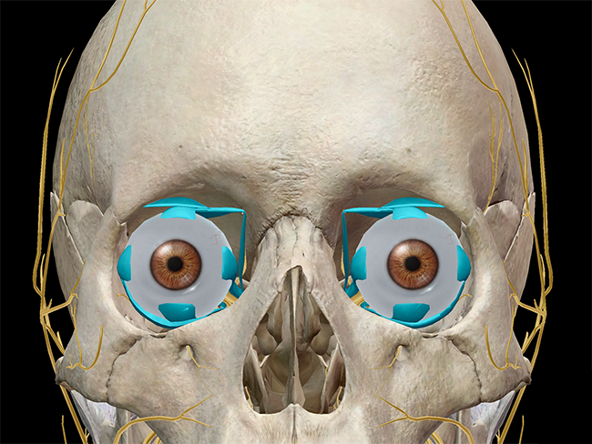Extraocular muscles.