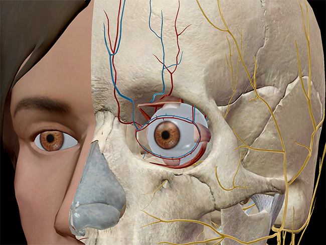 The extraocular muscles and the opthalmic vein and artery.