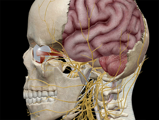 Showing the extraocular muscles and the optic nerve with parts of the skull removed.