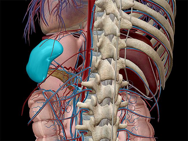 lymphatic-innate-adaptive-spleen