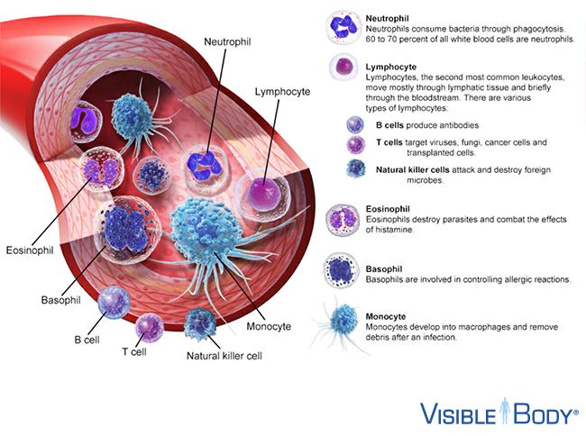 lymphatic-innate-adaptive-white-blood-cells
